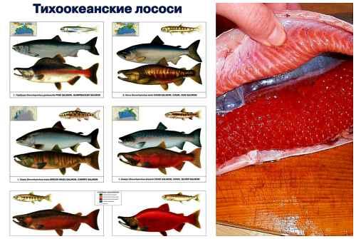 тихоокеанский лосось