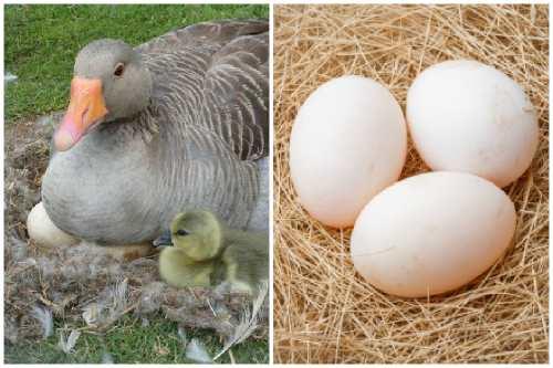 Гусиные яйца