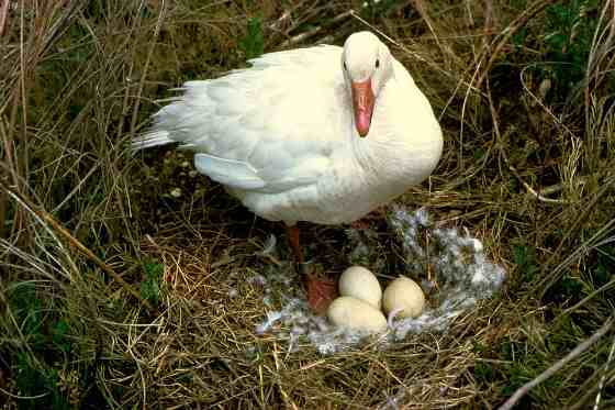 Гусыня и гнездо