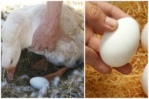Получение гусиных яиц