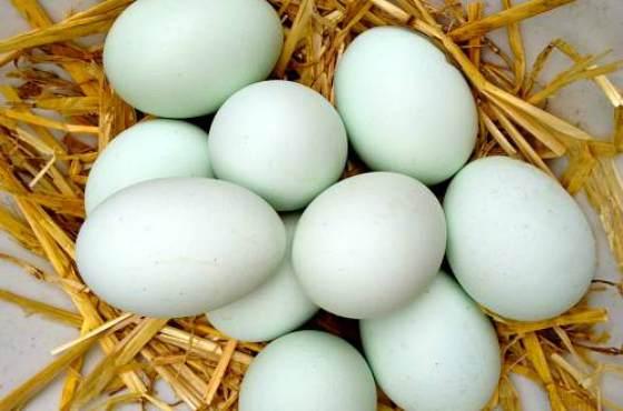 Утиные яйца: польза и вред. Едят ли утиные яйца?